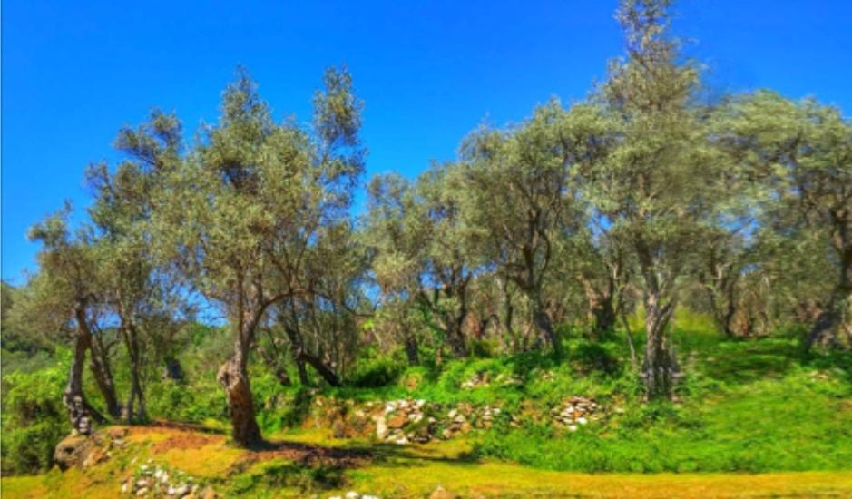Земельный участок с оливковой рощей в Баре